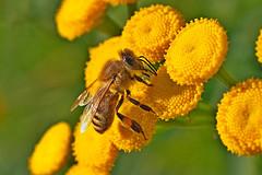 A honey bee collecting pollen on a common tansy in the evening sun. (Bienenwabe) Tags: bee nectar pollen honeybee asteraceae biene apis tanacetum apiaceae honigbiene apismellifera tanacetumvulgare rainfarn yellowpollen lippentaster