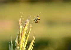 Hanging on (Sarah Hina) Tags: plant macro green reed grass closeup insect minimalism spottedcucumberbeetle