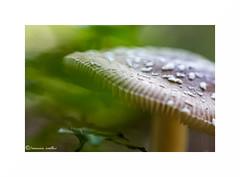 Panther profile (francine koeller) Tags: green mushroom forest vert gill foret champignon lamelle