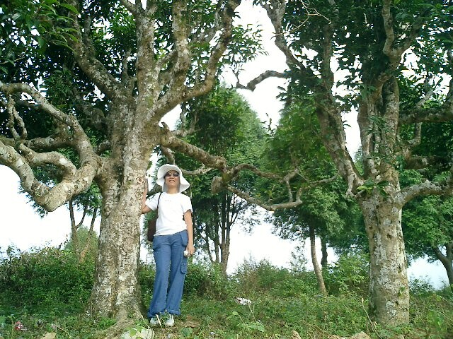 Làng chè Shan Tuyết