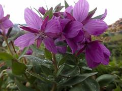 Arktisches Weidenröschen (Epilobium latifolium) - Thorsmörk Langidalur, Laugavegur - Trekking auf Island