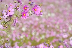 20151018-DS7_6135.jpg (d3_plus) Tags: street morning sea sky flower nature japan nikon scenery daily telephoto bloom  tele streetphoto toyama nikkor     dailyphoto thesedays 80200mm 80200 flowergarden       8020028 80200mmf28d  80200mmf28     80200mmf28af  toyamapref d700 nikond700  aiafzoomnikkor80200mmf28sed