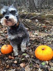 Setting Pumpkins Free (Pep's Hiking Team) Tags: dog nature pumpkin nikon schnauzer northdakota minischnauzer traildog d3200 wildernessdogs adventuresniffer