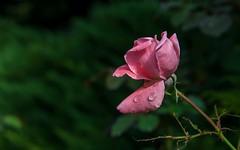 rose (09) (Vlado Ferenčić) Tags: macro rose closeup croatia hrvatskozagorje closeupmacro zagorje nikond600 nikkor2485284