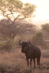 Early morning Wildebeest (Jonnersace) Tags: dawn safari wildebeest kruger satara