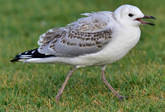 Juvenille Silver Gull (angeladowntown) Tags: bird seagull seabird juvenille silvergull