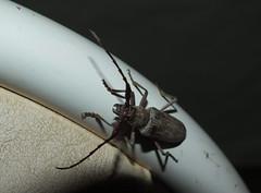Cerambycidae Cerambycinae Eucalypt Longicorn Beetle DSCF3237 (Bill & Mark Bell) Tags: exmouth westernaustralia australia geo:town=exmouth geo:state=westernaustralia geo:country=australia geo:lon=11425453egeolat2217752sgeoalt8m 11425453e2217752salt8m taxonomy:kingdom=animalia animalia taxonomy:phylum=arthropoda arthropoda taxonomy:class=insecta insecta taxonomy:order=coleoptera coleoptera taxonomy:family=cerambycidae cerambycidae taxonomy:subfamily=cerambycinae cerambycinae taxonomycommonnameeucalyptlongicornbeetle eucalyptlongicornbeetle animal fauna beetle