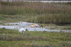 Adult and Juvenile Whooping Cranes (limedestruction) Tags: bird nature texas crane wildlife birding whoopingcrane aransasnwr