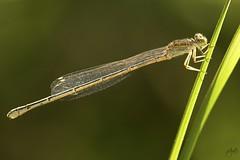 IMG_8791-2 (Jamil-Akhtar) Tags: canon6d tamron 200400 canon500d closeuplens nature macro insect damselfly islamabad pakistan