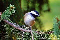 Black-capped Chickadee (--Anne--) Tags: blackcappedchickadee chickadees chickadee bird birds nature wildlife cute animals spruce pine tree trees