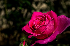late bloomer (yaz62) Tags: flowersplants october2016 rose wichitabotanica