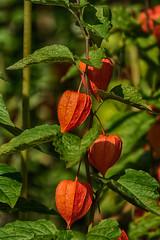 Lampions - orange lanterns (ralfkai41) Tags: japaneselantern nature plant garden wintercherry pflanze semen lampions flower samen blume outdoor garten physalisalkekengi natur lampionblume