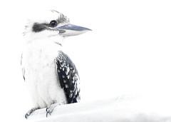 the kookaburra (liipgloss) Tags: bird kookaburra aussie australia wildlife