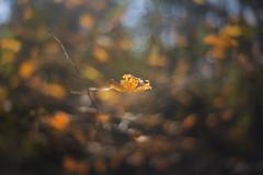 024/365 Autumn Embers (mckenziemedia) Tags: fall leaves leaf autumn golden yellow orange sky blue branch color colorful canon eos 5d markiii meyer optik primoplan 58mm f19 blur bokeh oof dof