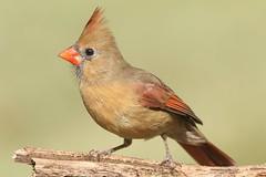 Female Northern Cardinal (Cardinalis cardinalis) (Steve Byland) Tags: northern cardinal cardinalis nature canon 7d markii 300mm f28