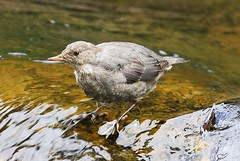 American dipper along Soda Butte Creek in Yellowstone NP WY 854A2660 (lreis_naturalist) Tags: american dipper soda butte creek yellowstone national park wyoming