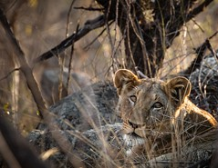 What? (Sebastian Koenig) Tags: wildlife lion nature natur sunset eye contact portrait animal cat safari sunshine bongani mountain lodge canon eos 70d