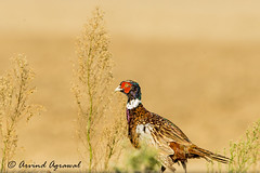 Ring-necked Pheasant - IMG_9823 (arvind agrawal) Tags: ringneckedpheasant pheasant bird wildlife lodi