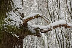 ckuchem-1639 (christine_kuchem) Tags: baumrinde buche bume eiche eis frost hainbuche natur pfad pflanzen ruhe samen spuren stille struktur wald weg wildpflanzen winter einsam kalt schnee ste