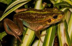 Ranoidea raniformis (captive, NZ) (ROCKnVOLE Photography) Tags: litoria raniformis frog southernbellfrog growlinggrassfrog ranoidea