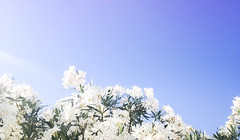 (Karmen A.C.) Tags: flowers white sun light lightroom sky rosebay oleander beam