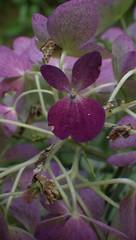 Singular Hydrangea Blossoms - IMGP6463 (catchesthelight) Tags: fall foliage fallfoliage leaves colorchange boscawen light hydrangea