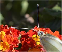 Fhler und Kopf des Grossen Kohlweissling (Pieris brassicae) *  . _DSC4824-001 (maya.walti HK) Tags: 111016 2016 animales animals butterflies butterfly copyrightbymayawaltihk flickr macro makro mariposa mariposas nikond3200 pierisbrassica schmetterlinge spain spanien tiere espaa grosserkohlweisslingpierisbrassicae