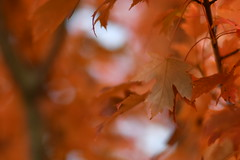 Ethereal (l i v e l t r a) Tags: leaf ethereal maple sugar tree fall stem branch 58mmf14g nikkor f14 smooth blur bokeh inspired by love