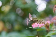 Purple flower with bokeh (alastc) Tags: flowers westonbirt england unitedkingdom gb
