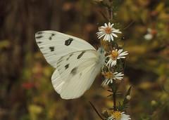 Checkered White (Pontia protodice) (Rezamink) Tags: checkeredwhite pontiaprotodice butterflies usa