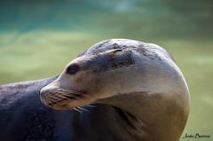 (JOAO DE BARROS) Tags: mammal animal seal portrait joo barros zoo