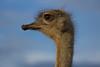Avestruz (Dianaesbla) Tags: avestruz animal