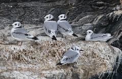 A Gaggle of Young Kittiwakes (Rick Derevan) Tags: alaska kodiak bird kittiwake blackleggedkittiwake rissatridactyla