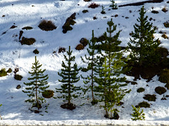Young trees in the snow (plethora4834) Tags: yellowstonenationalpark yellowstone park wyoming wy nature trees young snow growing