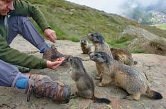 Kontakt (welenna) Tags: alpen alps animals switzerland summer schwitzerland saasfee tiere marmot murmeltier mensch mann fttern