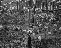 Wet tree with brown leaves (Stanley Burn Woods) (Jonathan Carr) Tags: tree wet beech leaves sapling abstract abstraction landscape rural northeast black white toyo45a largeformat 4x5 5x4 bw monochrome