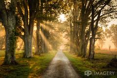 Rural Driveway (AP Imagery) Tags: fineart trees lane sunrise sunrays ky driveway kentucky foggy daviess usa