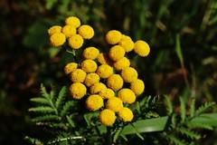 Wild Flower (Hugo von Schreck) Tags: hugovonschreck flower blume blüte wildblume outdoor wildflower rainfarn tanacetumvulgare macro makro canoneos5dsr tamronsp90mmf28divcusdmacro11f017