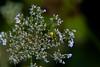 An der Wuhle (naturlicht) Tags: wuhle wildpflanze gemeinemöhre insekt spinne makro berlinhellersdorf berlin deutschland