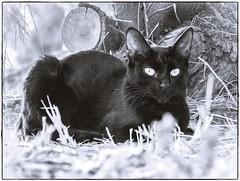 UNA DE GATOS 6 (BLAMANTI) Tags: gatos felinos mascotas cat silvestres byn blancoynegro animales animalesdecompañia
