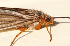 Adult caddisfly (jlcummins - Washington State) Tags: yakimacounty washingtonstate nature caddisfly insect aquaticinsect canonef100mmf28macrousmlens