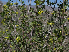 golden currant, Ribes aureum var. aureum (Jim Morefield) Tags: carsoncity nevada unitedstates grossulariaceae gooseberryfamily ribes ribesaureum ribesaureumvaraureum wfgna flora wildflower wildflowers angiosperm dicot plant flowers flower blossom bloom goldencurrant shrubs shrub riparian woodland steppe floodplain empire carsonriver pinenutmountains greatbasin spring wetland foliage leaves olympus evolt e510 olympuse510 jdm20160380 taxonomy:family=grossulariaceae taxonomy:genus=ribes taxonomy:binomial=ribesaureum taxonomy:common=goldencurrant taxonomy:trinomial=ribesaureumaureum geo:alt=1400m yellow 5petals longcluster