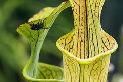 Living dangerously! (Ian@NZFlickr) Tags: pitcherplant hothouse botanical gardens dunedin otago nz