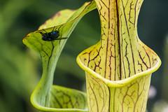 Living dangerously! (Ian@NZFlickr) Tags: pitcherplant hothouse botanical gardens dunedin otago nz