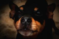 hello :)) (Morag.) Tags: dog pet cute minpin love nose whiskers nikon d3300 nikkor digital hello