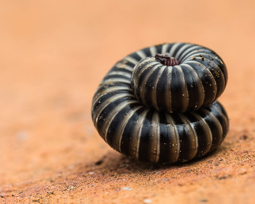 rolled up millipede