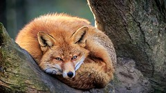 Foxy (BigOllie Pictures) Tags: ifttt 500px animals fox foxy nature wildlife