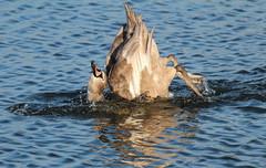 "How did it do that?                 Juv Swan  No1 (jdathebowler Thanks for 965,000+ views.) Tags: juvenilemuteswan swan cygnusolor bathingswan familyanatidae waterfowl muteswan howdiditdothat vividstriking ngc ilovebirds ""canonflickraward"