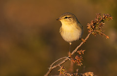 Willow Warbler, Phylloscopus trochilus (janmangorfagerland) Tags: animal birds bird birdphoto birdsgallery bokeh birding birdsofnorway d800e 300mmvriig28 fagerland field fugler flickr fuglebilder gallery photography photo islands nikon wildlife jan janfagerland mjvatn karmy landscape mangor myr norge nature norway natur outdoor ornithology vr supertele songbird v