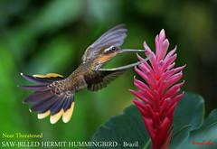 (Species# 889a) Near Threatened SAW-BILLED HERMIT - [ Ubatuba, Brazil Endemic ] (tinyfishy's World Birds-In-Flight (Gone to Africa)) Tags: ramphodon naevius near threatened